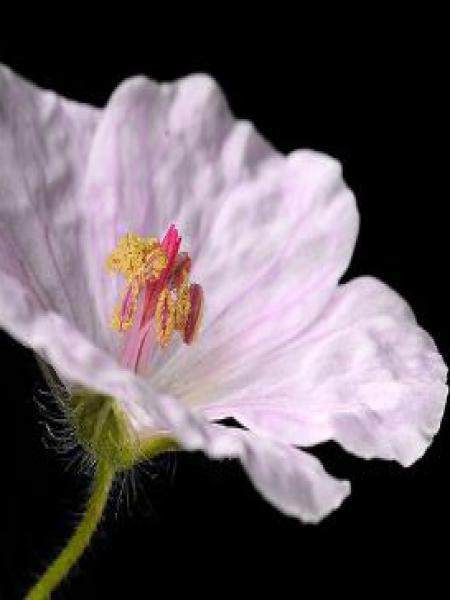 Géranium vivace sanguin 'Apfelblûte'