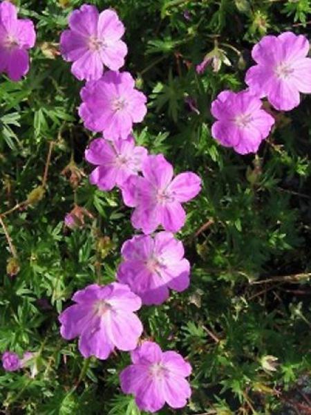 Géranium vivace sanguin 'Aviemore'