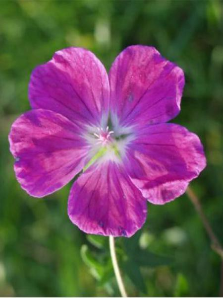 Géranium vivace sanguin 'Elsbeth'