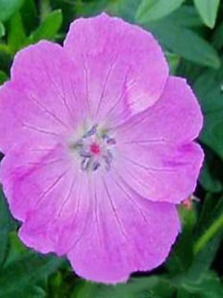 Géranium vivace sanguin 'Inverness'