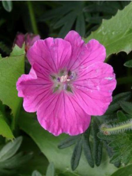 Géranium vivace sanguin 'John Elsey'