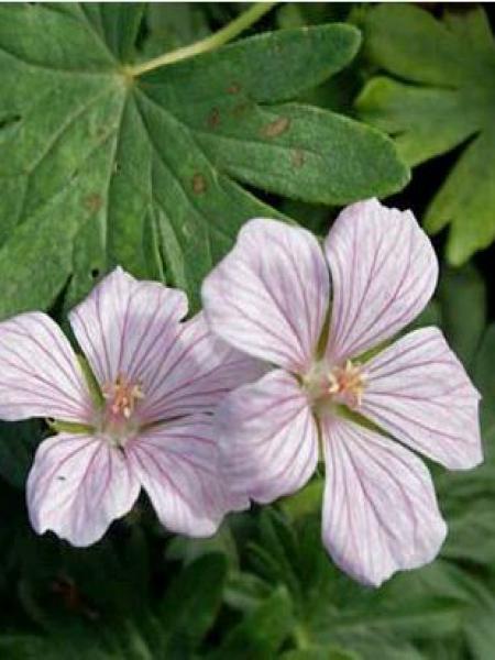 Géranium vivace sanguin 'Pink Pouffe'