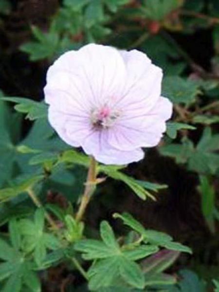 Géranium vivace sanguin 'Zartrosa'