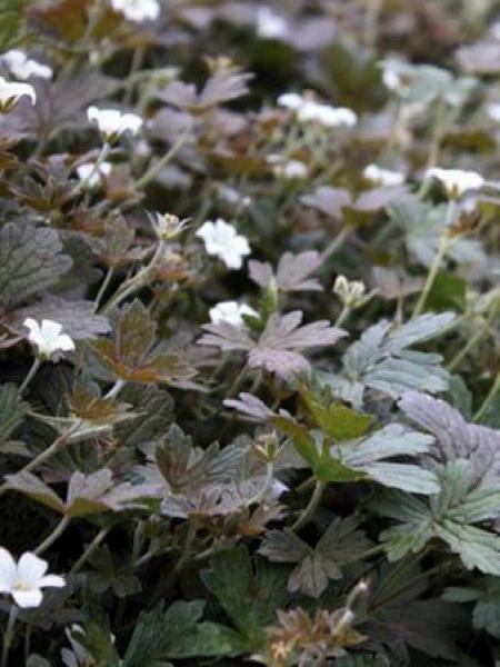 Géranium vivace 'Sanne'