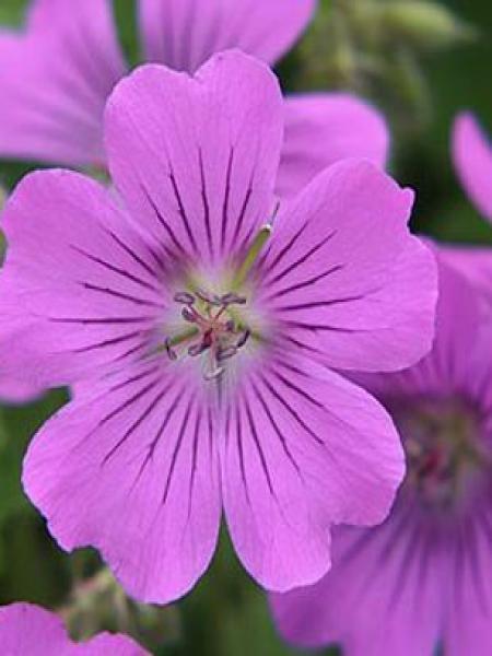 Géranium vivace 'Sirak'