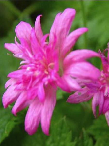 Géranium vivace 'Southcombe Double'