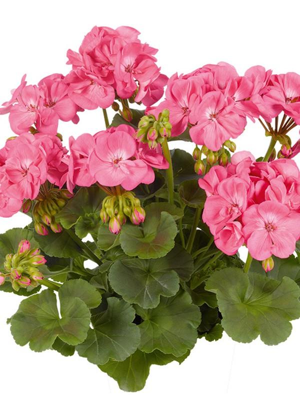 g ranium zonale 39 survivor pink passion 39 pelargonium hortorum le jardin du pic vert. Black Bedroom Furniture Sets. Home Design Ideas