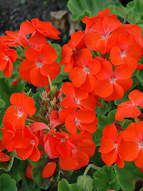 Géranium zonale 'Horizon Orange'