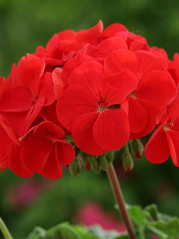g ranium zonale 39 horizon rouge 39 pelargonium hortorum le jardin du pic vert. Black Bedroom Furniture Sets. Home Design Ideas
