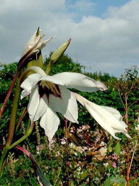 Glaïeul botanique