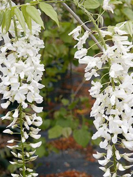 Glycine japonaise 'Alba'