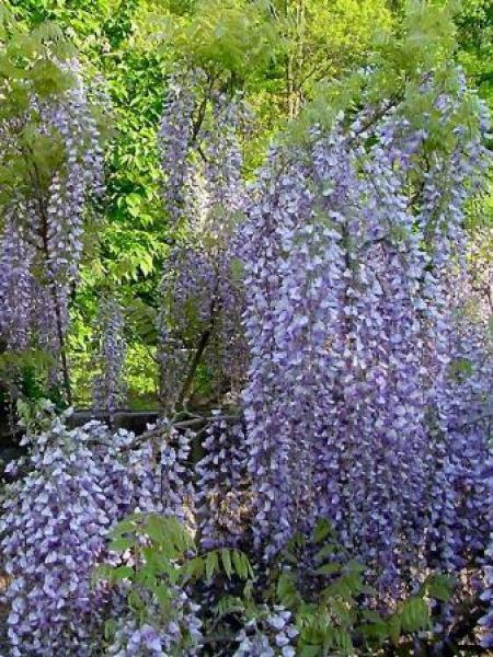 Glycine japonaise 39 macrobotrys 39 wisteria floribunda le jardin du pic vert - Taille de la glycine ...