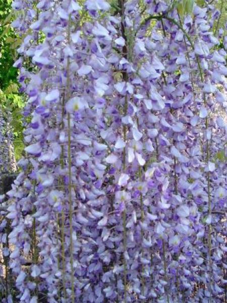 Glycine japonaise 'Macrobotrys'