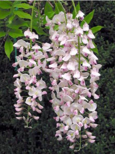 Glycine japonaise 'Rosea'