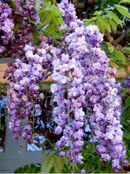 Glycine japonaise 'Violacea Plena'