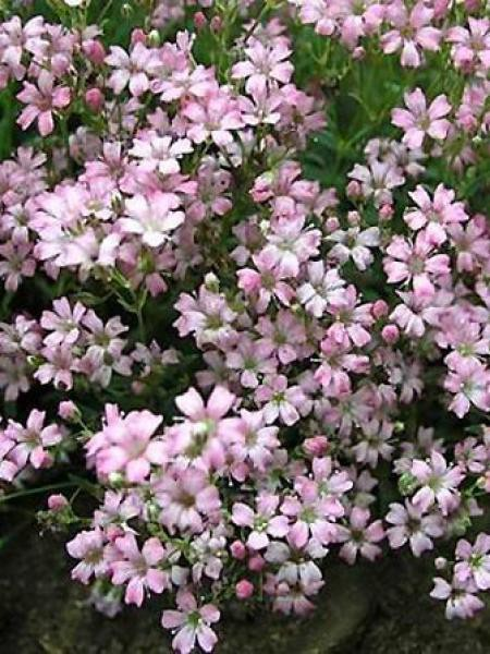 Gypsophile 'Festival Pink'