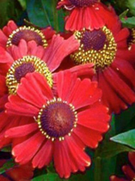 Hélénie 'Red Jewel'
