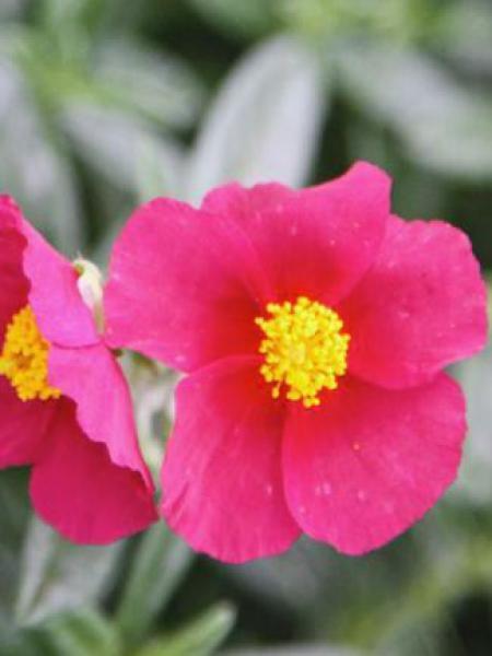 Hélianthème 'Hartswood Ruby'