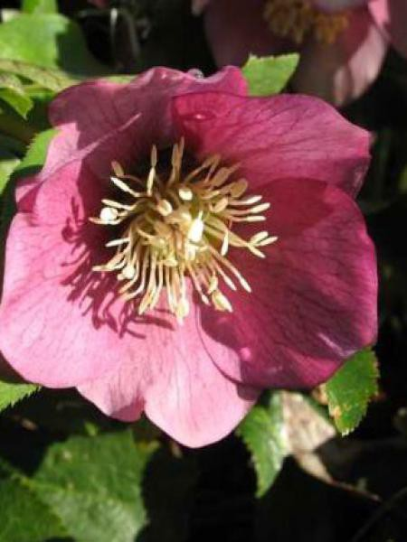 Hellébore orientale 'Pink Lady'