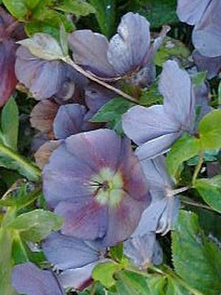 Hellébore orientale 'Slaty Blue'