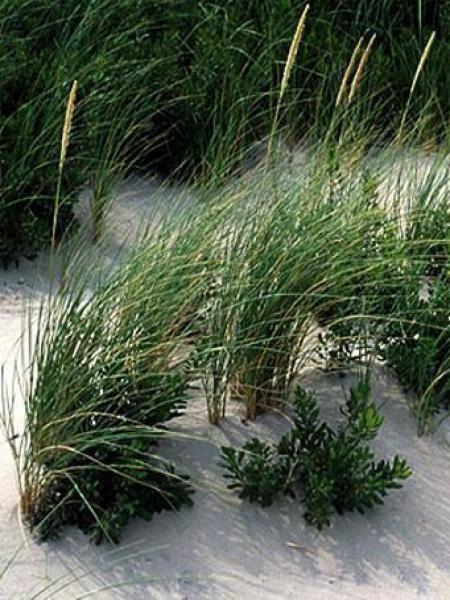 Herbe des dunes