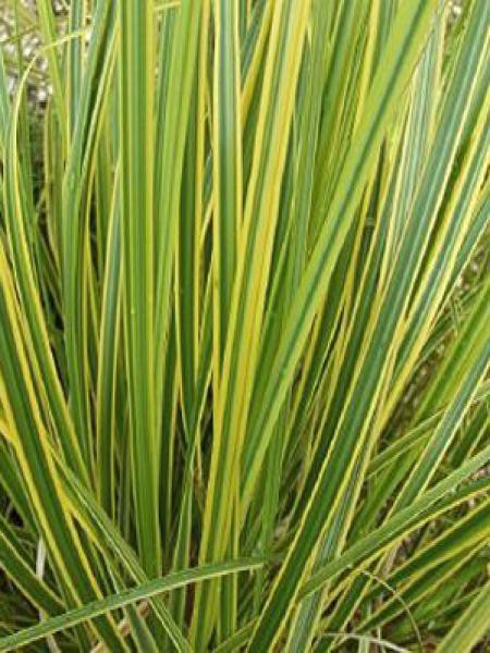 Herbe des pampas 'Gold Band'