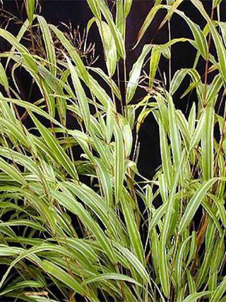 Herbe du Japon 'Albostriata'
