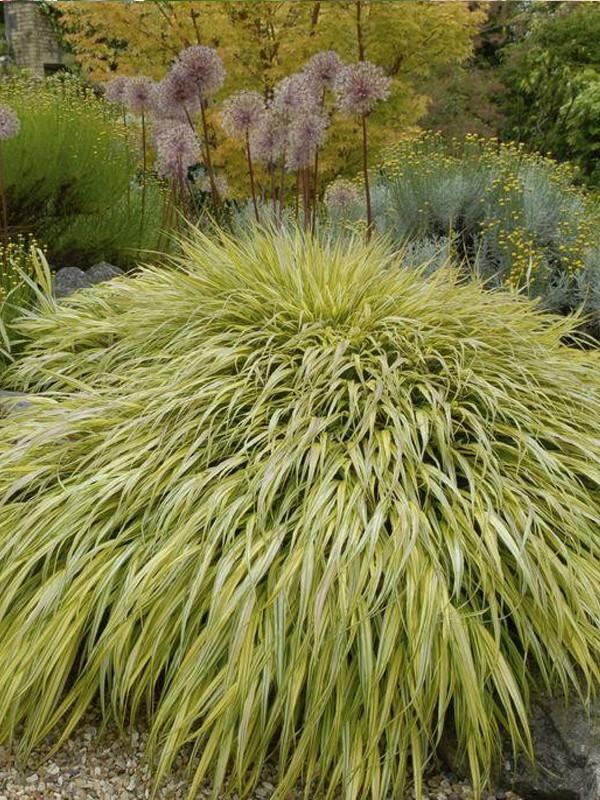 Herbe du Japon 'Aureola'
