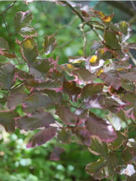 Hêtre commun 'Tricolor'