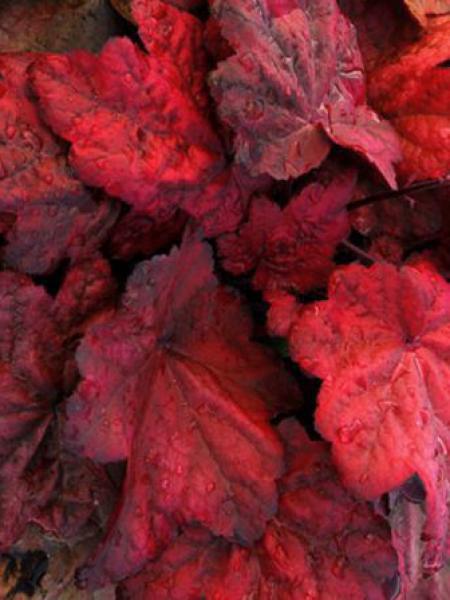 Heuchère 'Autumn Leaves'®
