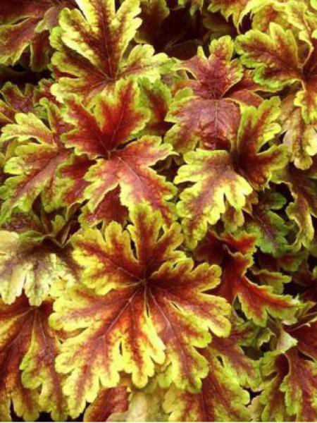 Heucherella 'Golden Zebra''
