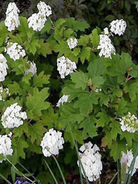 Hortensia à feuilles de chêne 'Alice'
