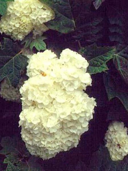 Hortensia à feuilles de chêne 'Harmony'