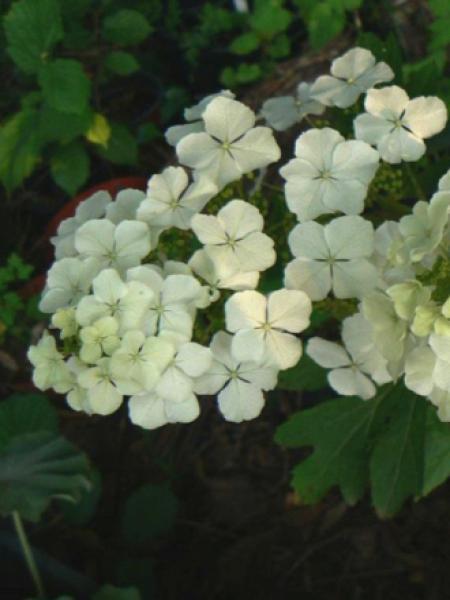 Hortensia à feuilles de chêne 'Ice Crystal'