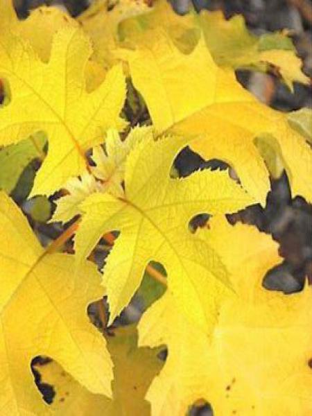 Hortensia à feuilles de chêne 'Little Honey'