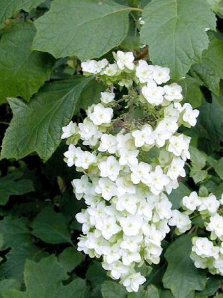 Hortensia à feuilles de chêne 'Snow Flake'