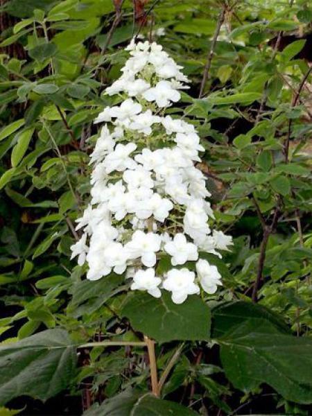 Hortensia à feuilles de chêne 'Snow Queen'
