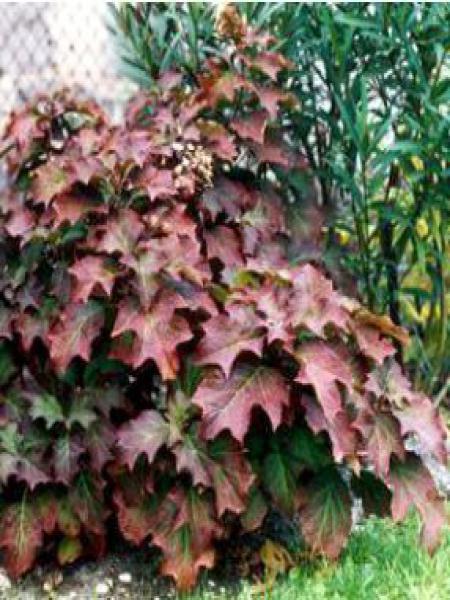 Hortensia à feuilles de chêne