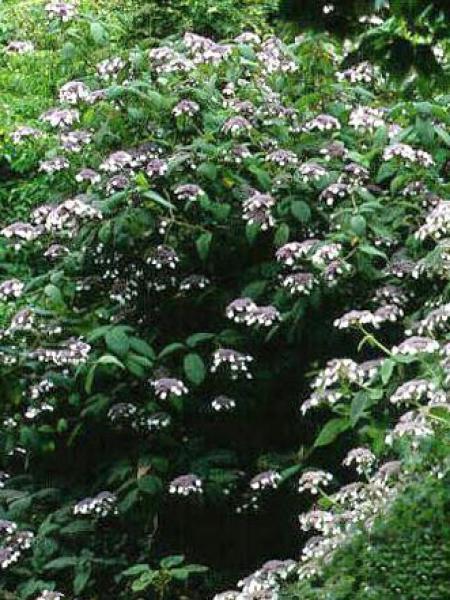 Hortensia aspera 'Macrophylla'