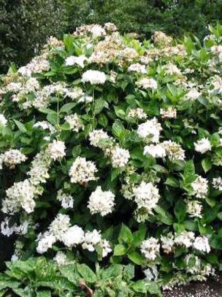 Hortensia -blanc-