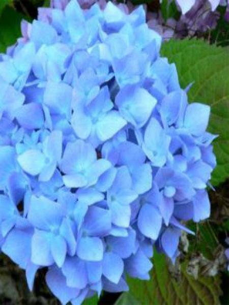 Hortensia '-bleu-'
