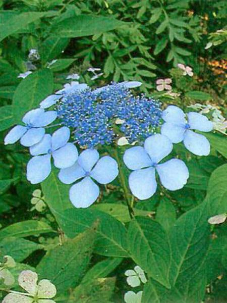 Hortensia 'Blue Bird'