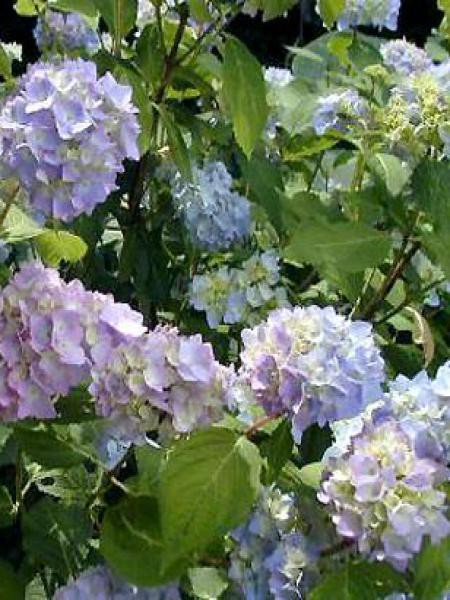 Hortensia 'Bouquet Rose'