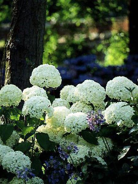 Hortensia de Virginie 'Annabelle'