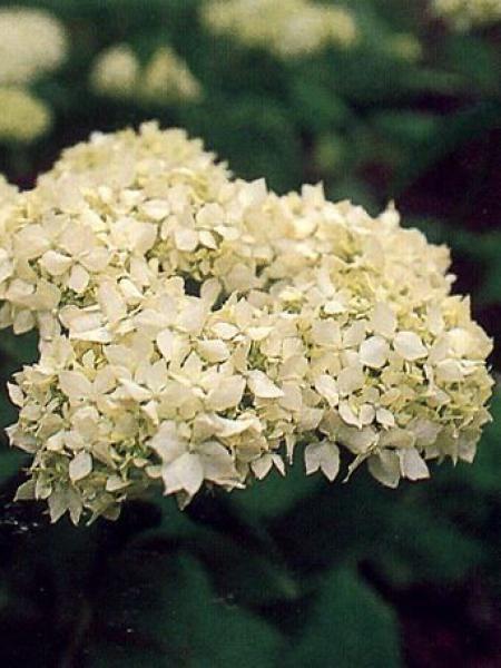 Hortensia de Virginie 'Grandiflora'