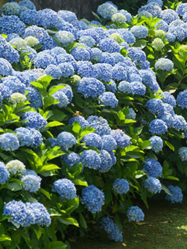 Hortensia 'Endless Summer'® Bailmer