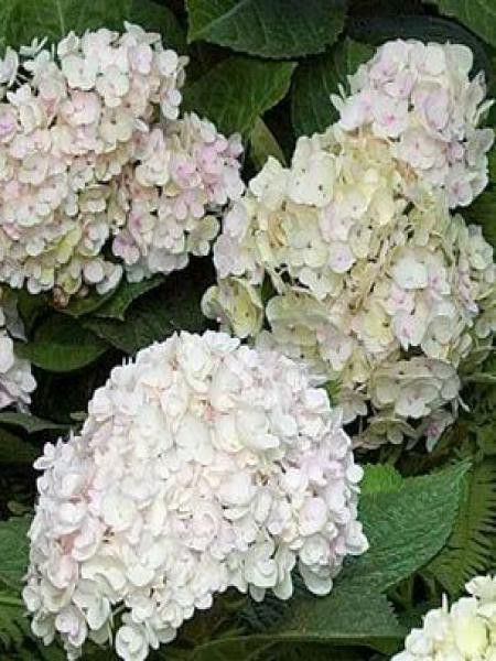 Hortensia 'Endless Summer'® The Bride