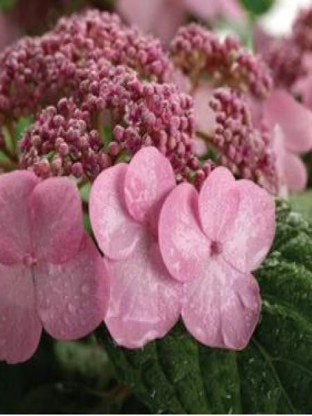Hortensia 'Endless Summer'® Twist-N-Shout