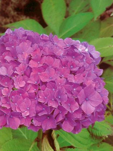 Hortensia 'King George VII'