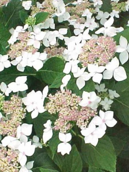 Hortensia 'Lanarth White'